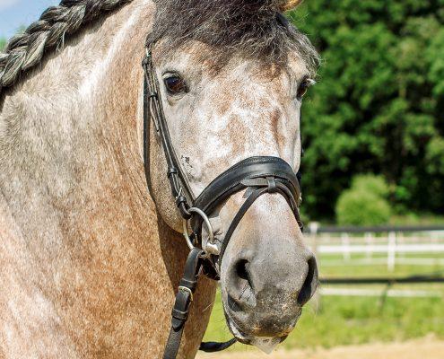 paardenportret barok paard (PRE)